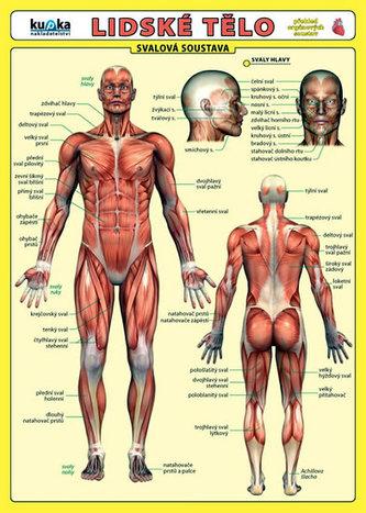 Lidské tělo - Přehled orgánových soustav - Svalová soustava - Kupka Petr a kolektiv